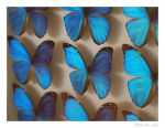 Morpho butterfly by solalis1226