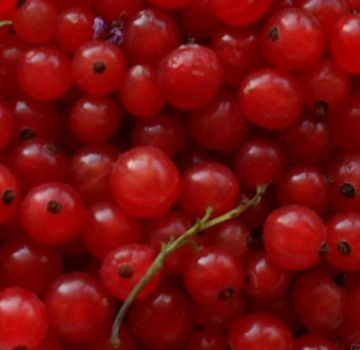 Red currant by veksha