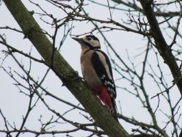 Great spotted woodpecker by faithless12