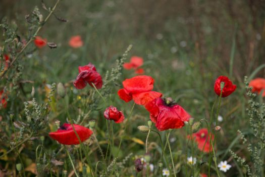 Poppies by vasiliuss