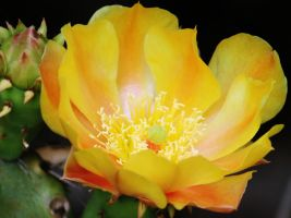 Cactus Flower in Bloom by I-Heart-Photos