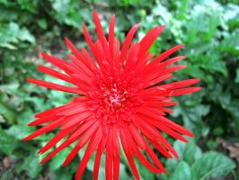 Red Daisy by Tenshi659