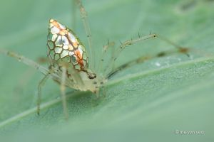 Mirror comb-footed spider (Thwaitesia sp.) by melvynyeo