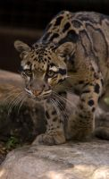 A Clouded Leopard by hoboinaschoolbus