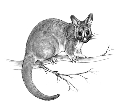 Brushtail possum sketch by oxpecker