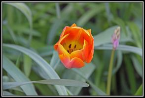 Orange And Yellow Tulip by lizzyr