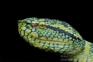 Viper (IMG 2526 copy) by orionmystery