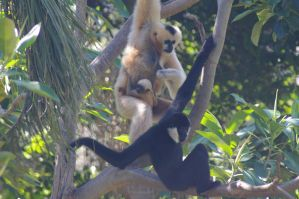 Gibbons by Althalore