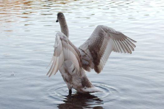 Juvenile Swan Wing Stock 1 by FurLined