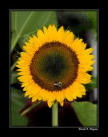 A Sunflower for Almut by David-A-Wagner