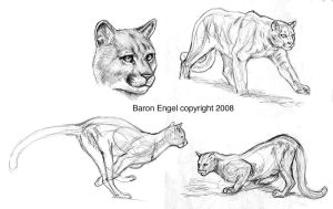Cougar sketches. by Baron-Engel