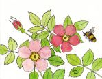 Wild Rose Bumble Bee by Snapdragonfly-Ink