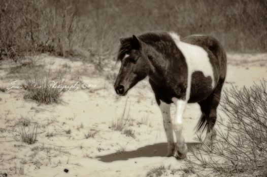 Wild Horse from Assateague by daftopia
