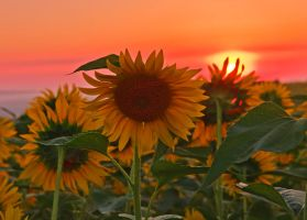 The sun flower by lica20