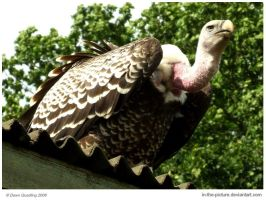 Ruppell's Griffon Vulture by In-the-picture