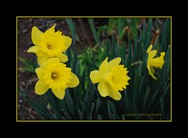 Daffodils in Tennessee... by LadyAliceofOz