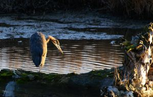 Heron Blue? by JWFisher