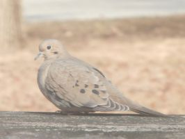 Mourning Doves at Noon 4 by DragonflyLite