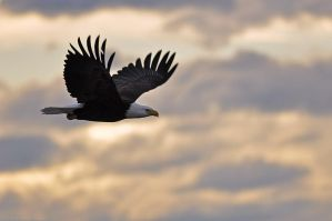 San Juan Bald Eagle - Flight 3 by robbobert