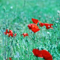 Poppies. by ToXicLoveKid