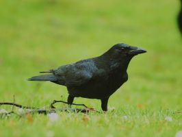 Beauty of the corvus corax by pagan-live-style