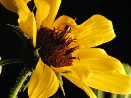 Sunflower Dreams 3 by cozzybob