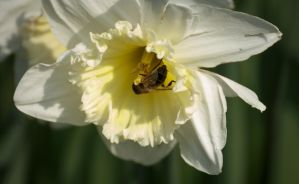 Bee in White Narcis by Danimatie