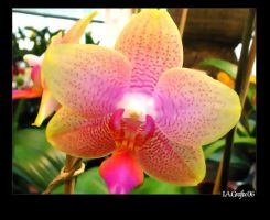 Orchid series 7 by I-A-Grafix