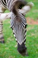 Zebra flapping ears by alecd