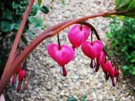 Bleeding Hearts by DreamingLillies