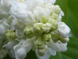 white lilac closeup 02 by mimustock