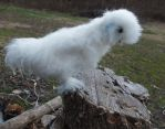 Needle Felted Silkie Chicken Semi-Posable Bird by FeatheredFauna