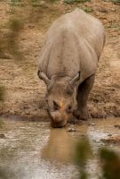 Black Rhino at the Waterhole by PhilippeduPreez