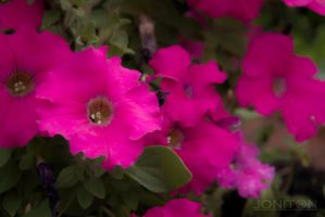 Another Glamour Shot - Petunia by Jonitron