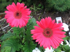 The Kween's Gerberas by davincipoppalag
