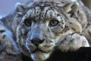 Snow Leopard 6594 by robbobert