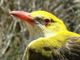 Golden Oriole by Faunamelitensis