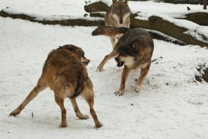 Fight In Wolf Pack II by amrodel
