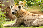 Spotted Hyena 05 by RHCP-Cream