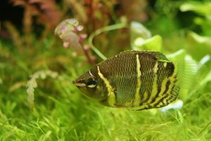 Chocolate gourami by Nesihonsu