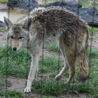Pocatello Zoo 9 Coyote by Falln-Stock