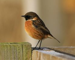 Stonechat by NurturingNaturesGift