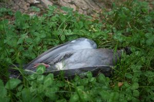 Dead pigeon stock by AnnieSue-stock
