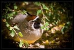 Gambel's Quail: Not Here by Flame-of-the-Phoenix