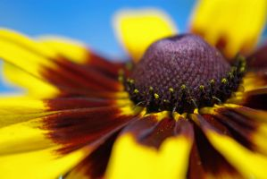 denver daisy by foodshelf