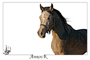 Serar the pure Arabian horse by AMROU-A