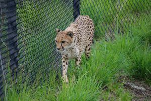 Cheetah 3 by devins-stock