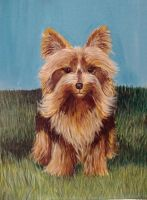yorkshire Terrier finished by Artlyss