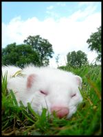 Leon my ferret by Mokeurone