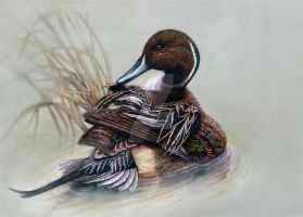 Pintail by DrKujo